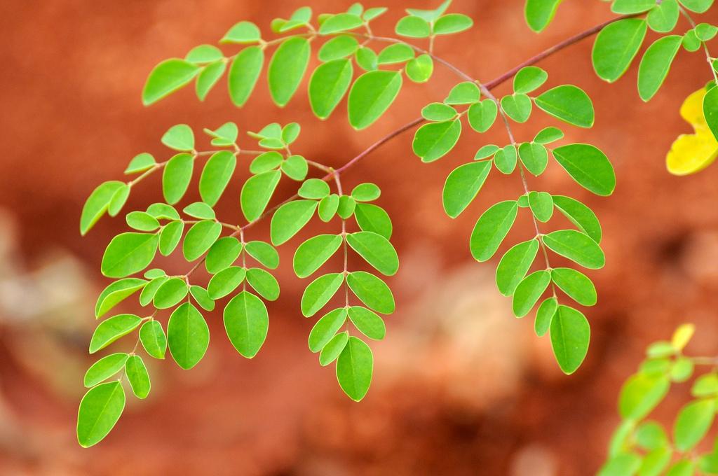 Moringa oleifera - Hari Prasad Nadig