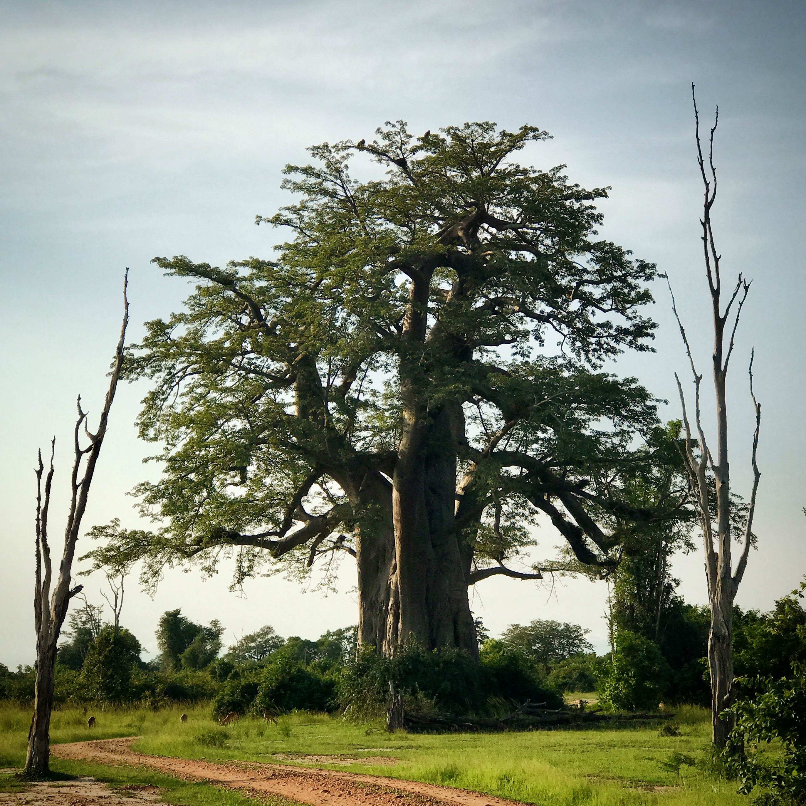 A baobab, with its own hardwood portal, in Zambia's South Luangwa National Park.
