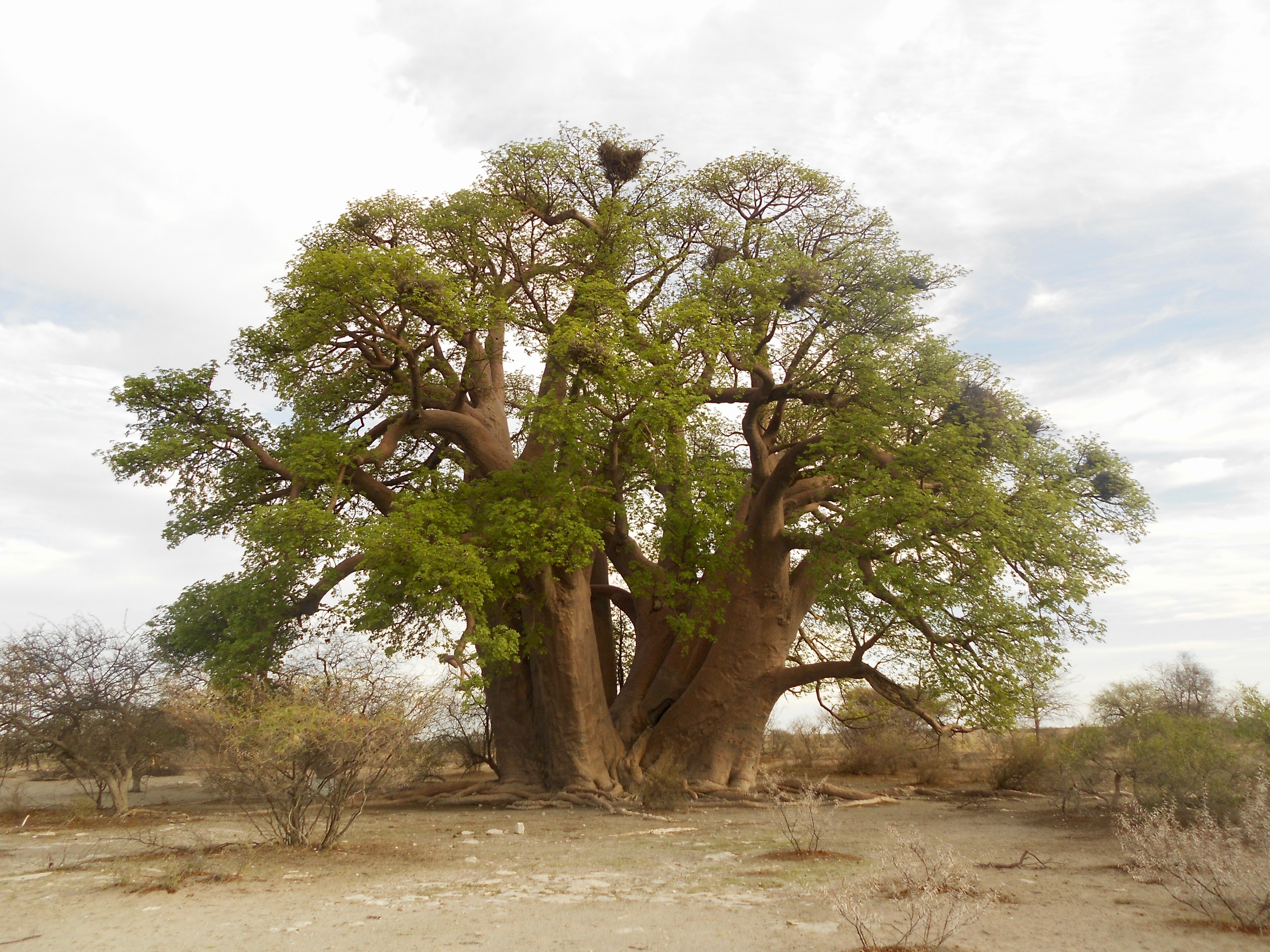 Chapman's baobab in the Kalahari Desert before it collapsed and died.